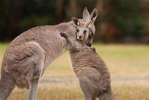 Name:  kangaroos.jpg Views: 70 Size:  10.6 KB
