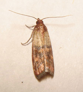 Warning food cupboard moths page 2 english forum for Pantry moths