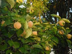 can-anyone-identify-tree-fruit-sam_0293.jpg