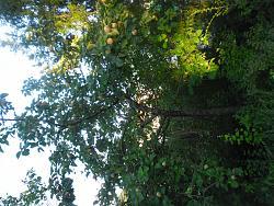 can-anyone-identify-tree-fruit-sam_0294.jpg