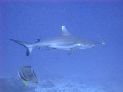 back-holidays-what-your-best-moment-grey-reef-shark-pilot-fish.jpg