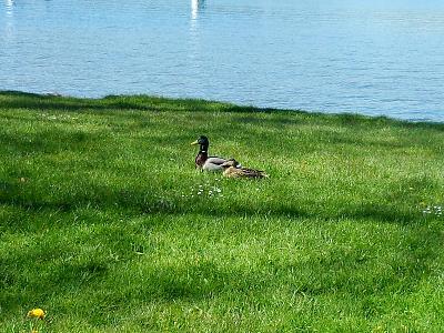 post-your-photos-switzerland-couple-ducks.jpg