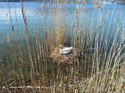 post-your-photos-switzerland-swan-nest.jpg