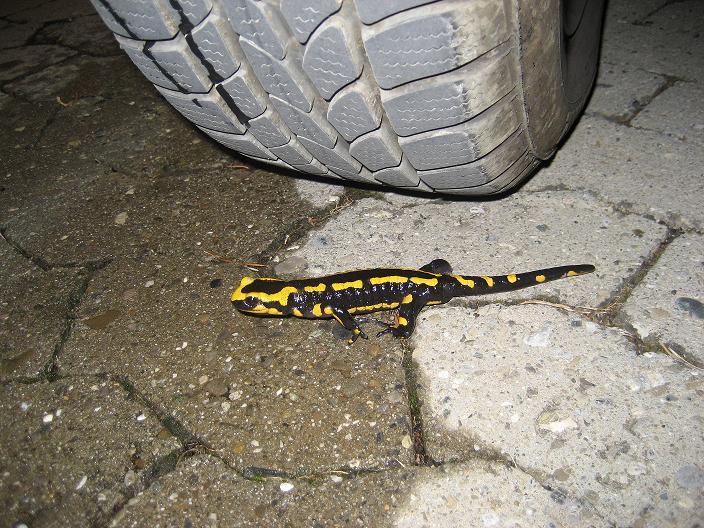 Salamander lizards? - English Forum Switzerland