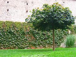 post-your-photos-switzerland-tree-chateau-de-chillon.jpg