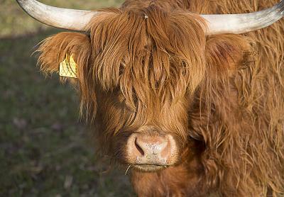 beautiful-cows-irish-breed-_h7b5676.jpg