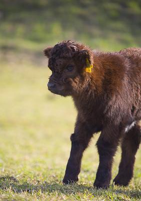 beautiful-cows-irish-breed-_h7b5712.jpg