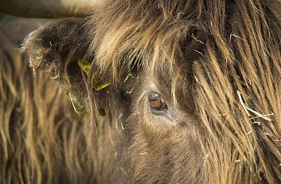 beautiful-cows-irish-breed-_h7b5725.jpg