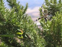 arachnophobics-beware-swiss-spiders-looking-like-wasps-image-shown-img_0121.jpg