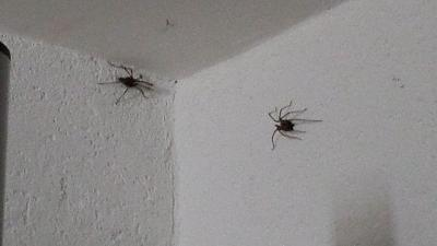 gigantic-spiders-switzerland-spiders.jpg