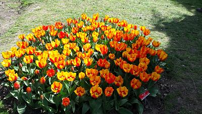 tulips-morges-have-already-bloomed-20150412_141727.jpg
