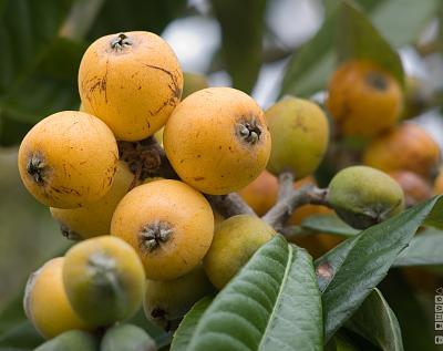 can-anyone-identify-tree-fruit-3433981774_a4109d2213_o.jpg