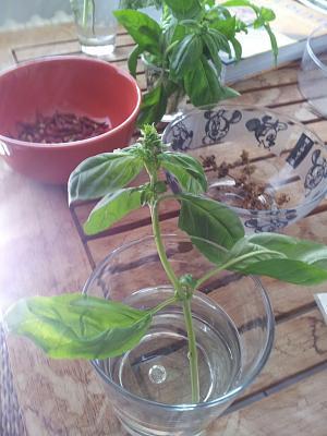 basil-migros-re-growing-after-harvesting-leaves-regrow-basil.jpg