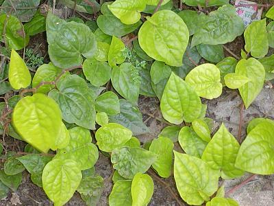 betel-leaf-1280px-piper_betle_plant.jpg