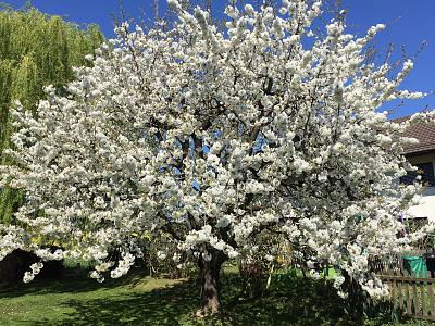 first-swiss-cherries-season-yummy-img_6114.jpg