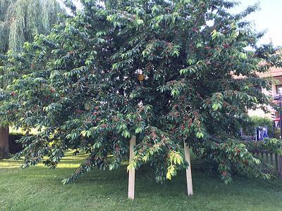 first-swiss-cherries-season-yummy-img_6696.jpg