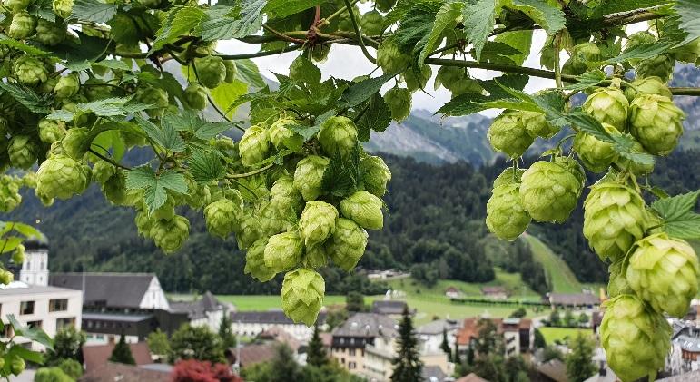 Name:  hops4.jpg Views: 159 Size:  180.7 KB