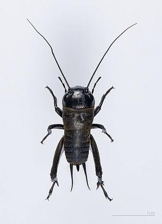 Name:  cricket.jpg Views: 115 Size:  15.5 KB