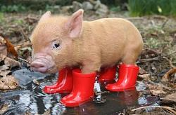 how-you-feeling-today-images-pig.jpg