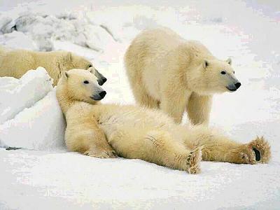 how-you-feeling-today-images-3_lazy_polar_bears.jpg