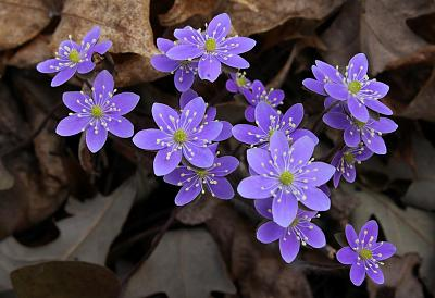 how-about-gardening-thread-rsz_hepatica.jpg