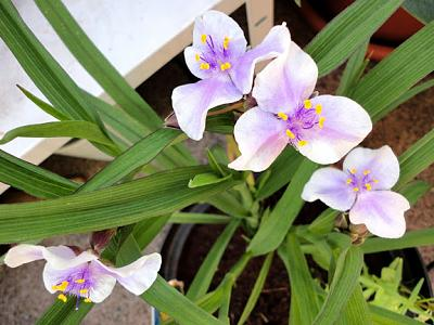 how-about-gardening-thread-tradescantiabilberryice2013-06-17-01.jpg