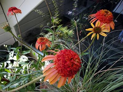 how-about-gardening-thread-echinacea.jpg