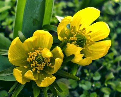 how-about-gardening-thread-winteraconites.jpg