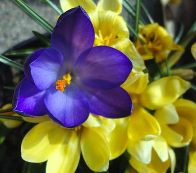 how-about-gardening-thread-crocuspurpleblue.jpg