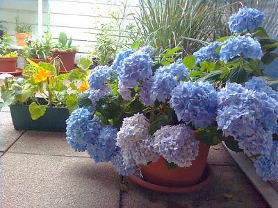 how-about-gardening-thread-hortensien9.jpg