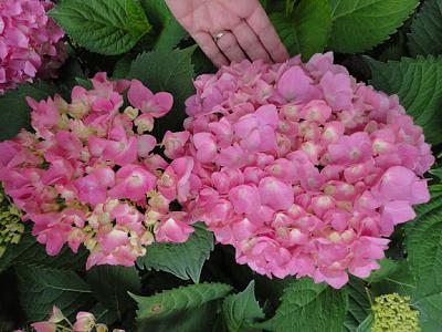 how-about-gardening-thread-hydrangea2013-07-05-06.jpg