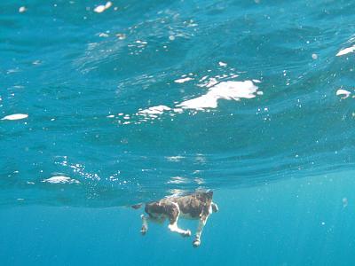 how-do-you-make-maltese-cross-dog2.jpg