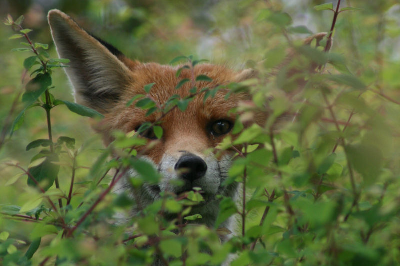 Weasel Ferret Family Ferret-weasel-stoat-fox4-copy