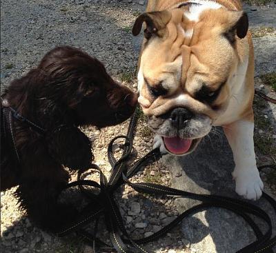 dogging-well-puppying-bulldog.jpg