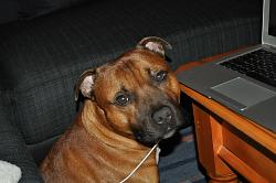 calling-all-staffie-lovers-staffordshire-bull-terrier-other-dogs-also-welcome-40317_450502378766_608303766_6144025_1237009_n.jpg