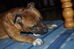 calling-all-staffie-lovers-staffordshire-bull-terrier-other-dogs-also-welcome-38575_450502498766_608303766_6144032_8341457_n.jpg