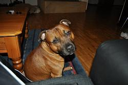 calling-all-staffie-lovers-staffordshire-bull-terrier-other-dogs-also-welcome-38645_450502458766_608303766_6144029_4438373_n.jpg