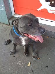 calling-all-staffie-lovers-staffordshire-bull-terrier-other-dogs-also-welcome-048.jpg