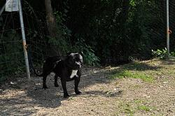 calling-all-staffie-lovers-staffordshire-bull-terrier-other-dogs-also-welcome-dsc_1036.jpg