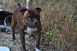 calling-all-staffie-lovers-staffordshire-bull-terrier-other-dogs-also-welcome-dsc_1035.jpg