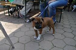 calling-all-staffie-lovers-staffordshire-bull-terrier-other-dogs-also-welcome-dsc_1030.jpg