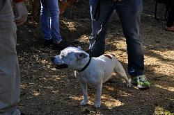 calling-all-staffie-lovers-staffordshire-bull-terrier-other-dogs-also-welcome-dsc_1026.jpg