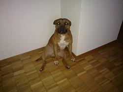 calling-all-staffie-lovers-staffordshire-bull-terrier-other-dogs-also-welcome-26122009012.jpg