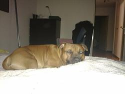 calling-all-staffie-lovers-staffordshire-bull-terrier-other-dogs-also-welcome-18052010022.jpg
