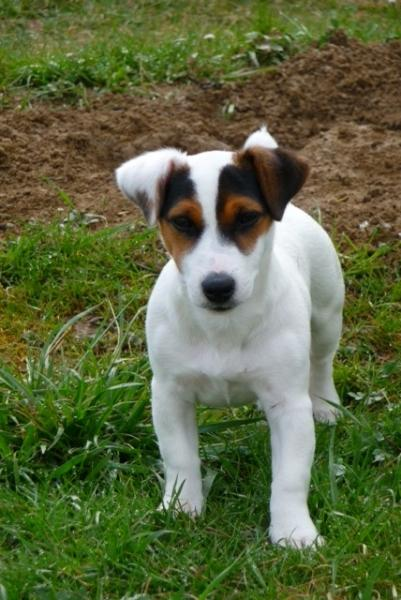 Parson Russell Terrier Growth Black And Brown Jack R...