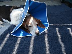 help-needed-re-dog-surgical-elizabethan-collar-dsc01736.jpg