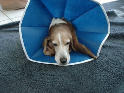 help-needed-re-dog-surgical-elizabethan-collar-dsc01738.jpg