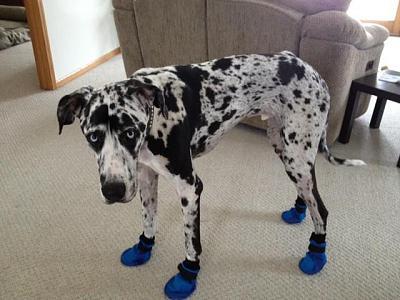 r-i-p-cazimir-welcome-ebby-dog-boots.jpg