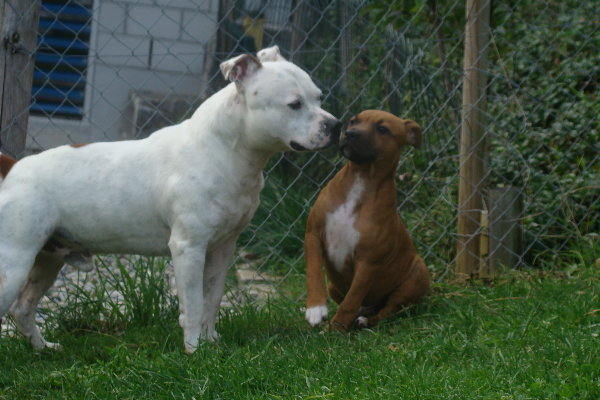 Calling all Staffie lovers!! (Staffordshire Bull Terrier