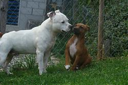 calling-all-staffie-lovers-staffordshire-bull-terrier-other-dogs-also-welcome-n608303766_1388506_7318.jpg